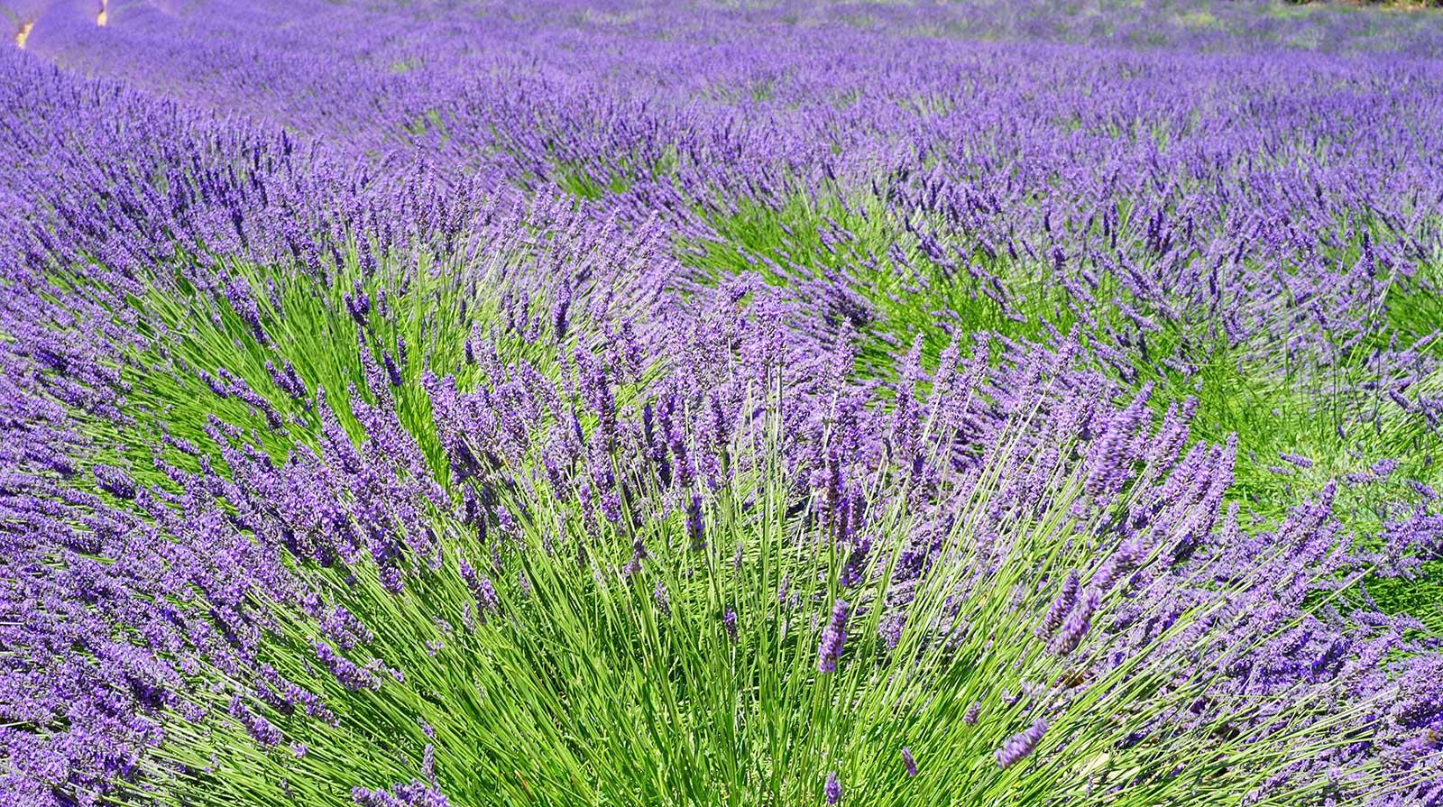 Lavendel zum einschlafen